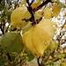 Apricot Autumn
