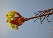 1st May 2016 - Acer Flowers