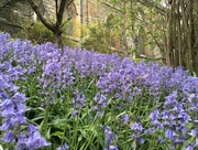 8th May 2016 - Bluebells