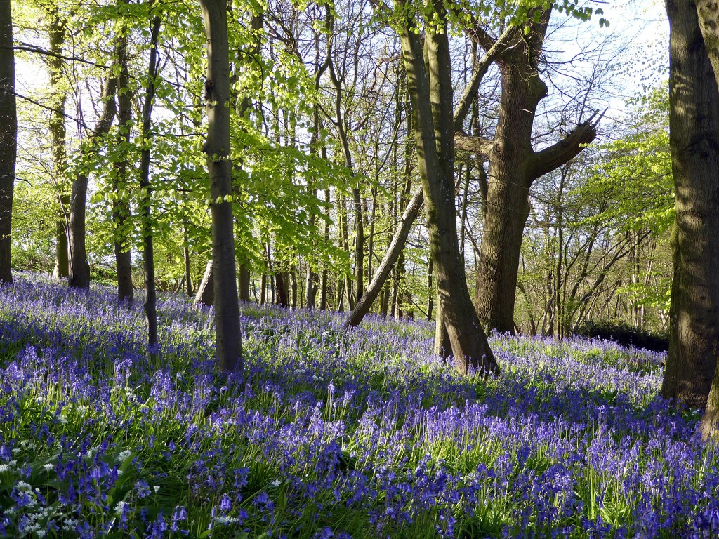 Bluebell Woods by cmp
