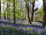 3rd May 2016 - Bluebell Woods