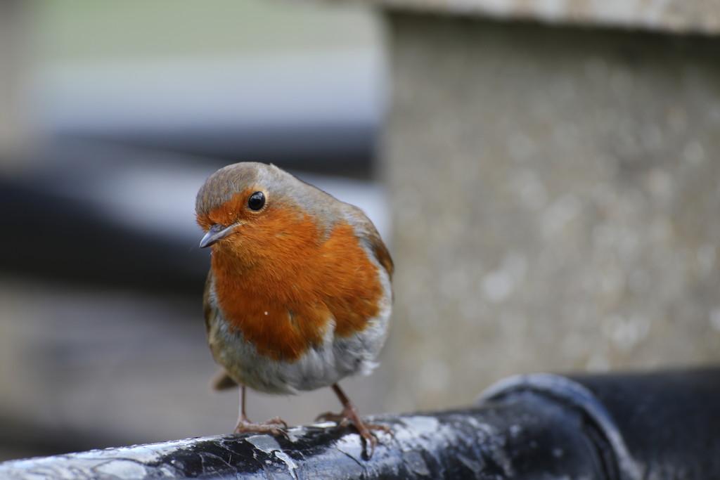 Little Robin Red Breast by bizziebeeme