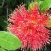 Rata tree flower (nz native) by Dawn