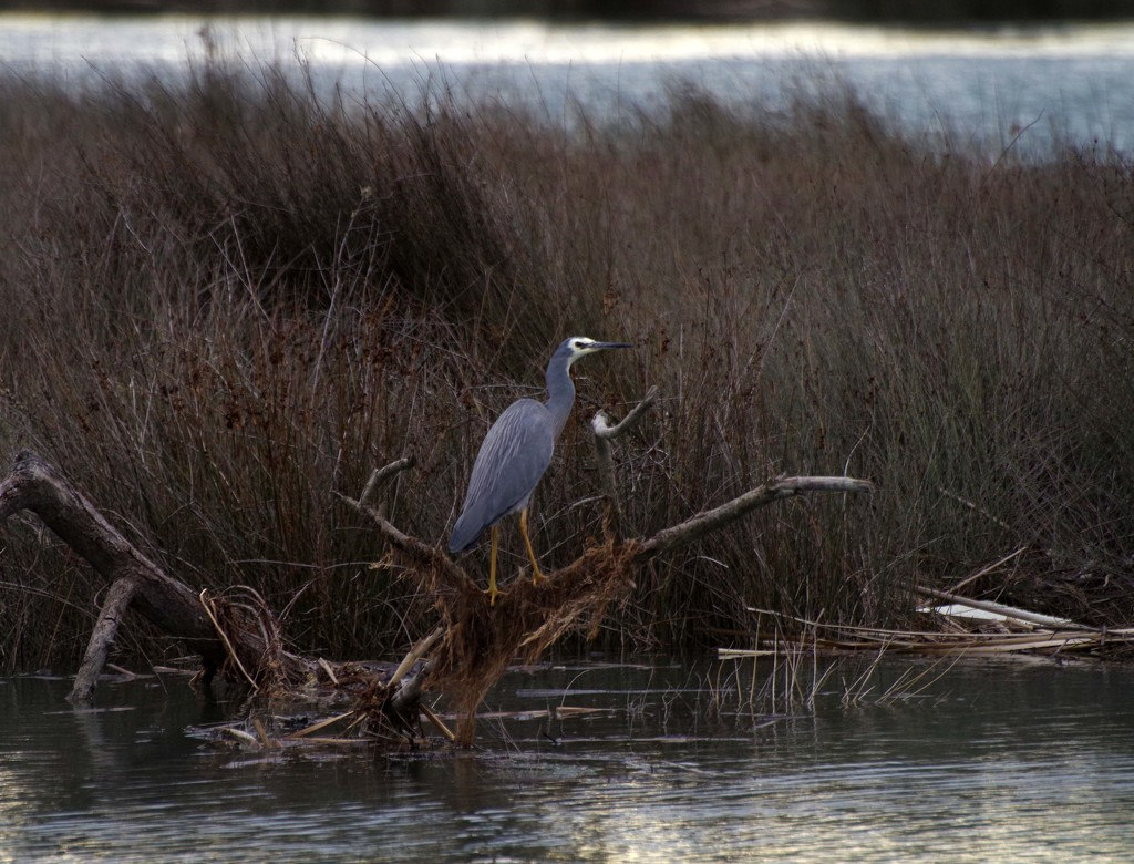 White faced heron at the lagoon by maureenpp