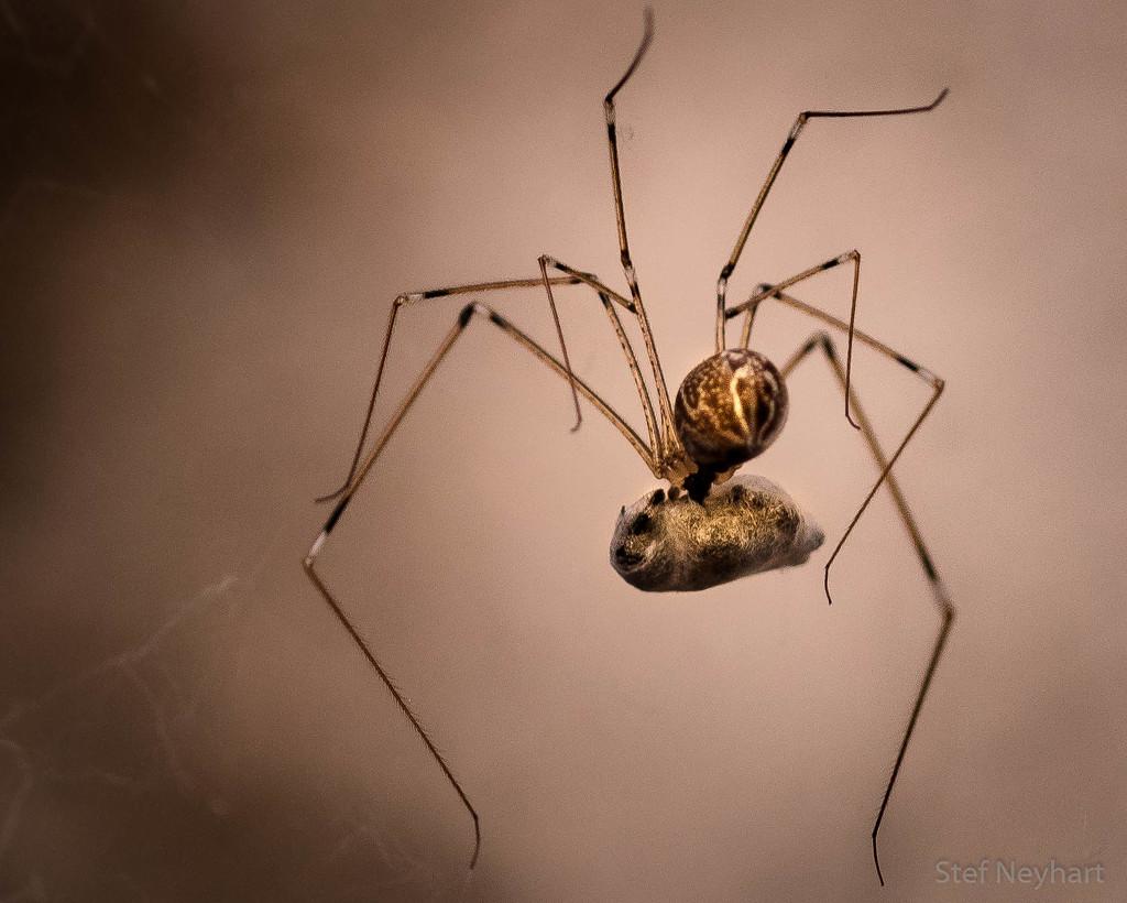 Bursting Spider 2 by stefneyhart