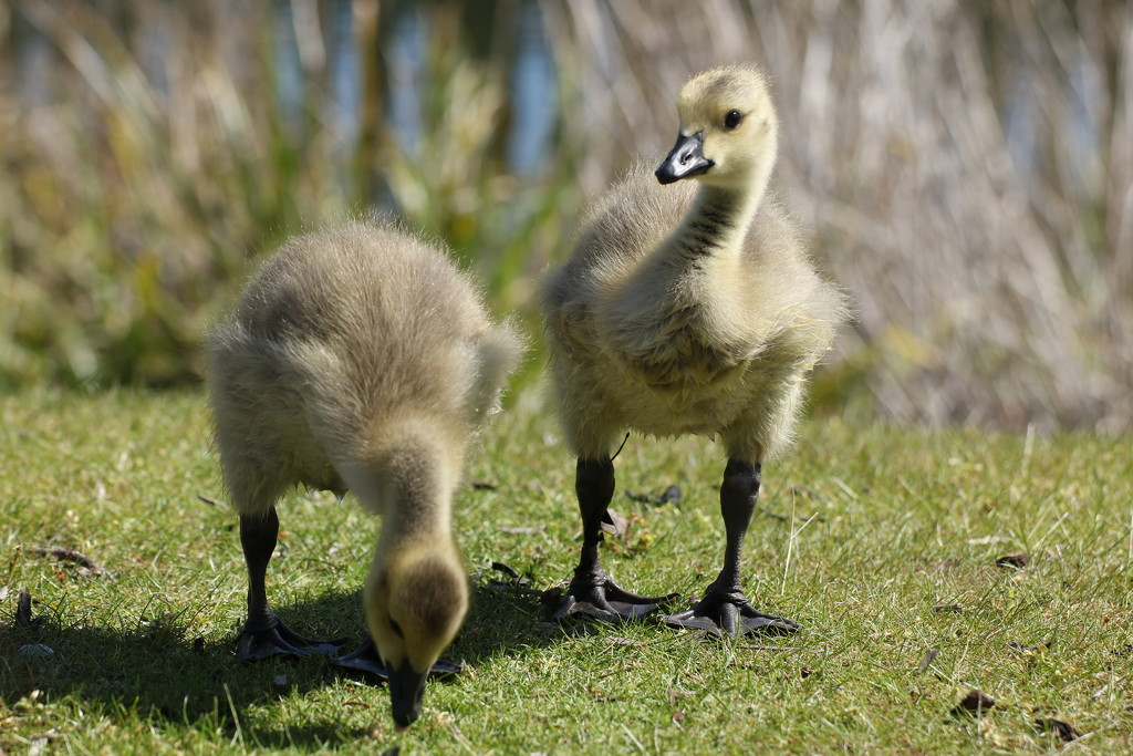 Sweet Goslings by bizziebeeme