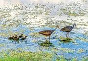 4th May 2016 - Meet the Limpkin family