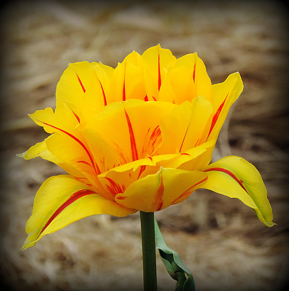 Tulip time! by homeschoolmom