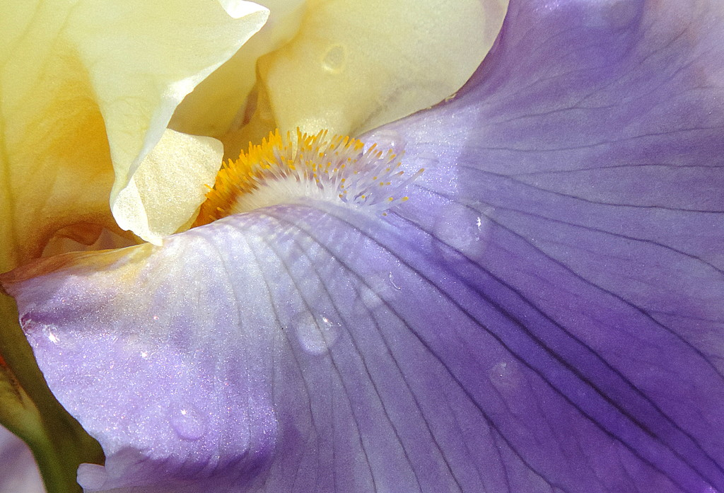 Raindrops on my Iris! by homeschoolmom