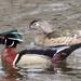 Wood Ducks by sunnygreenwood