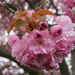 Cherry Tree by falcon11