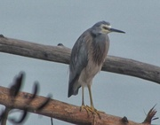 6th May 2016 - Heron in the mist