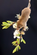 6th May 2016 - Harvest Mouse