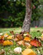 6th May 2016 - Autumn leaves