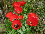 6th May 2016 - Tulips