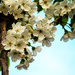 The cherry tree in full bloom! by janemartin