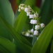 Lilies of the Valley by mittens