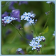 7th May 2016 - forget-me-not blue