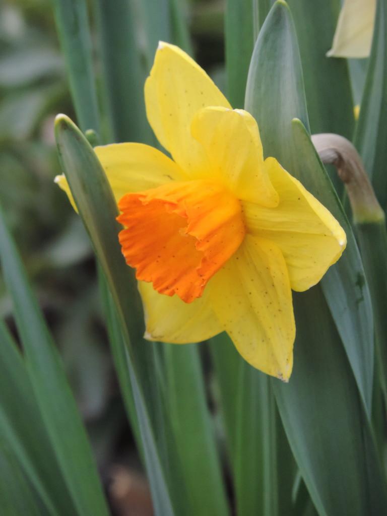 Daffodil SOOC by homeschoolmom