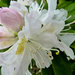 Rhododendron....  by snowy