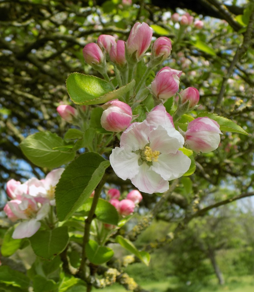 Apple blossom by flowerfairyann