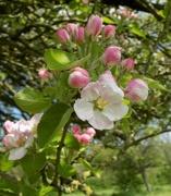 8th May 2016 - Apple blossom
