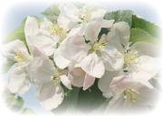 9th May 2016 - Apple Blossom.