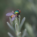 The lavender fly. by jodies