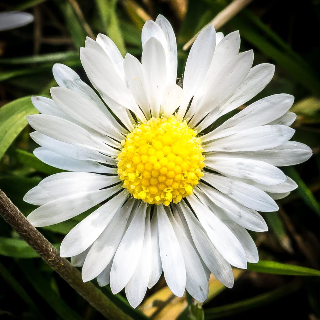 Daisy, Daisy by dorsethelen