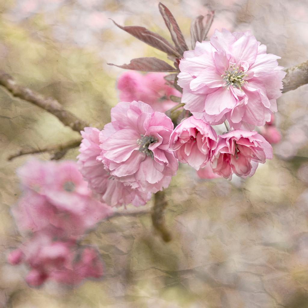 Cherry Blossom Impression by dorsethelen
