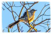 10th May 2016 - Mockingbird soaking up the sun