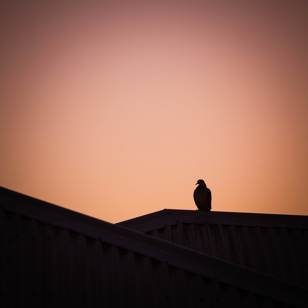 Sunrise pigeon  by jodies
