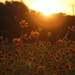 Wildflowers at Sunset by gaylewood