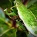 preying mantis by yorkshirekiwi