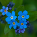 Forget-Me-Nots by dianen