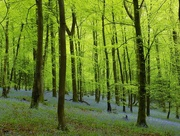 11th May 2016 - Bluebell forest