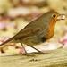 Robin by padlock