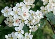 11th May 2016 - May Blossom.