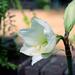 White Summer Amaryllis by dsp2