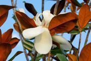 12th May 2016 - Magnolia blossom