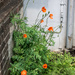 Urban Poppies by dorsethelen