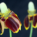 Mexican Hat Wildflower by gaylewood