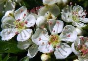 12th May 2016 - Hawthorn Blossom