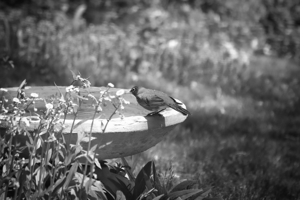 Robin in Black and White  by mzzhope
