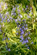 17th Apr 2016 - Bluebells in Whistler's Wood