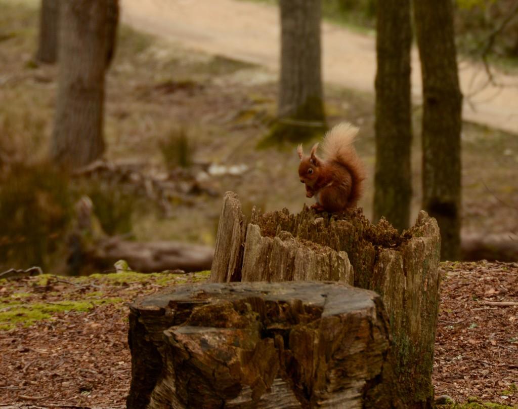 Brownsea Island Red Squirrel by mandapanda1971