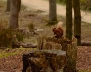 18th Apr 2016 - Brownsea Island Red Squirrel