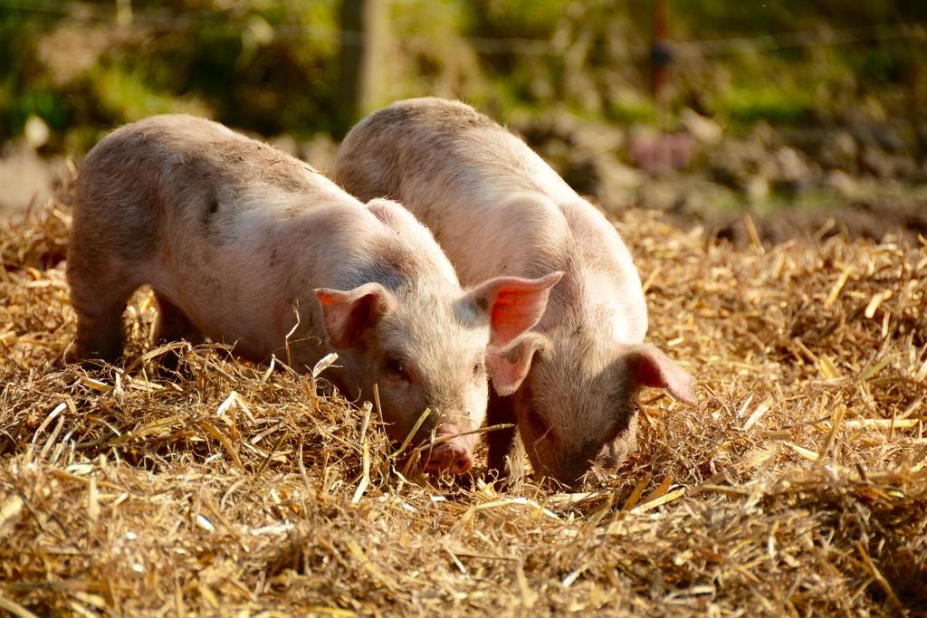 Piglets on White Row Farm by mandapanda1971