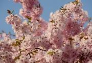 20th Apr 2016 - Cherry Blossom