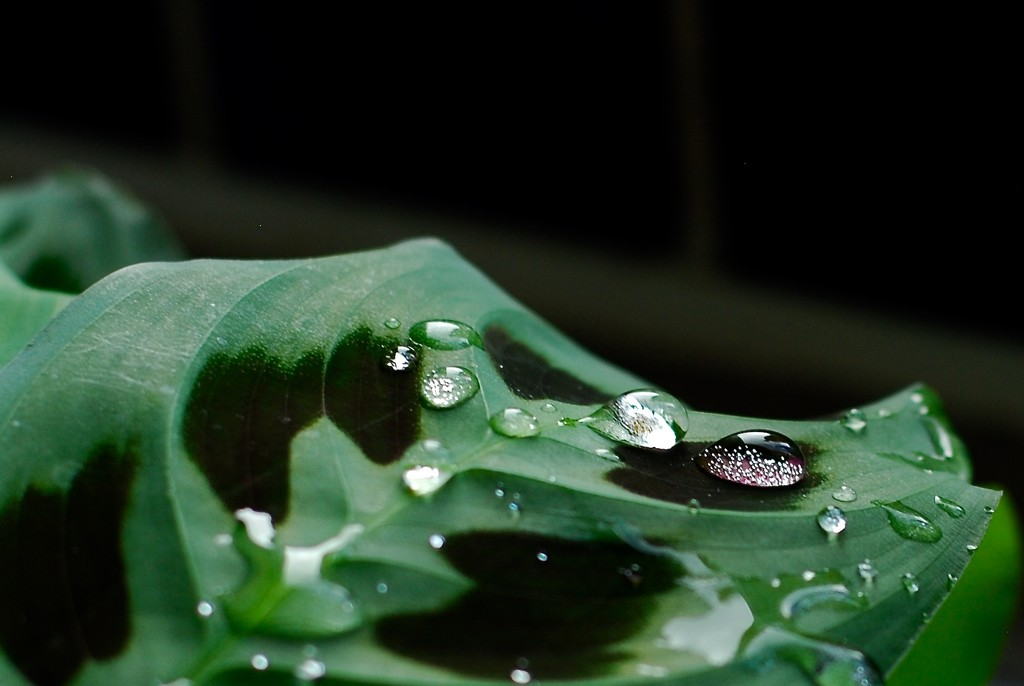 Water droplets on a Prayer Plant by mandapanda1971